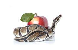 Königliche Pythonschlange mit rotem Apfel stockfotos