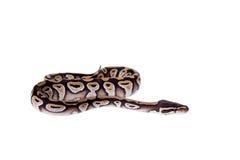 Königliche Pythonschlange oder Ball-Pythonschlange auf Weiß stockbild
