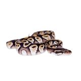 Königliche Pythonschlange oder Ball-Pythonschlange auf Weiß lizenzfreie stockfotografie