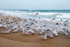 Königliche Seeschwalben Stockfotos