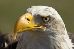 Königlicher Adler lizenzfreie stockfotos