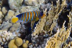 Königlicher Angelfish Stockfoto