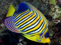 Königlicher Angelfish Lizenzfreies Stockfoto