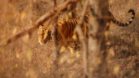 Königlicher Bengal-Tiger auf einem schönen goldenen Hintergrund Erstaunlicher Tiger im Naturlebensraum Szene der wild lebenden Ti lizenzfreie stockbilder