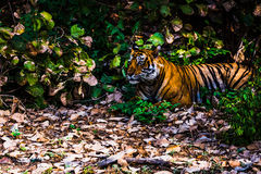 Königlicher Bengal-Tiger genannt Ustaad bei Ranthambore lizenzfreies stockfoto