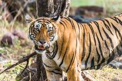 Königlicher Bengal-Tiger T-19 Krishna lizenzfreie stockbilder