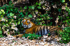 Königlicher Bengal-Tiger T-24 Ustaad Stockfotografie