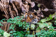 Königlicher Bengal-Tiger T-24 Ustaad stockbild