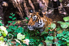 Königlicher Bengal-Tiger T-24 Ustaad stockbilder