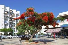 Königlicher blühender Baum des Delonix auf der Straße in Aschdod, Israel Stockfotografie