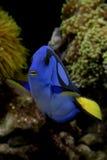 Königlicher blauer (Flusspferd-) Zapfen - Paracanthurus hepatus Lizenzfreies Stockbild