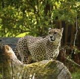 Königlicher Gepard das schnellste Tier in der Welt Lizenzfreies Stockfoto