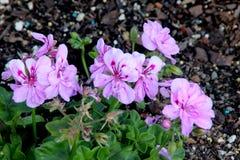 Königlicher Lavendel Ivy Leaf Geranium, Pelargonie peltatum ` königliches Lavendel ` lizenzfreie stockfotos
