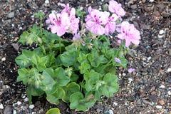 Königlicher Lavendel Ivy Leaf Geranium, Pelargonie peltatum ` königliches Lavendel ` stockbild