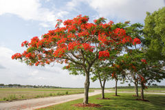 Königlicher Poinciana Baum Lizenzfreies Stockbild