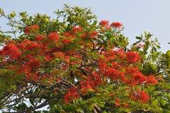 Königlicher Poinciana-Baum lizenzfreies stockbild