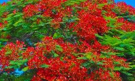 Königlicher poinciana Baum in der roten Blume Stockfotos