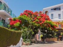 Königlicher Poinciana-Baum in Zypern Lizenzfreie Stockfotos