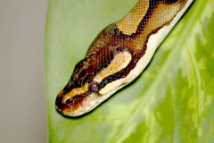 Königlicher Pythonschlangekopf Stockfotos