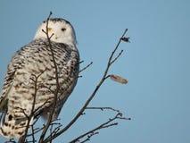 Königlicher Snowy Owl Peaking hinter einer Niederlassung an der Spitze eines Baums stockbilder