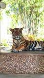 Königlicher Tiger Stockbilder