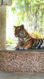 Königlicher Tiger Lizenzfreie Stockbilder