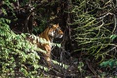 Königliches Bengal-Tigeraufpassen stockbilder
