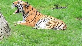 Königliches Bengal-Tigergegähne stock video footage