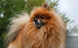Königliches schauendes Pomeranian nach links der Kamera Stockbilder