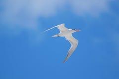 Königliches Seeschwalben-Fliegen Stockfotografie
