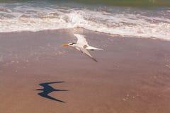 Königliches Seeschwalbenfliegen über einem Strand Stockfotos