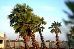 Königpalme-Bäume mit blauem Himmel lizenzfreies stockbild