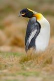 Königpinguin, Aptenodytes patagonicus, das im Gras mit gekipptem Kopf, Falkland Islands sitzt Lizenzfreies Stockbild