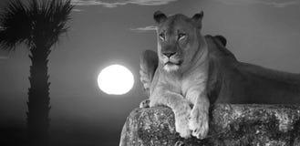 Königreich angeordnet durch Löwin lizenzfreie stockbilder