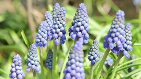 Köpfchen der blauen Traubenhyazinthen-Blumenblüte auf Frühjahr stock footage