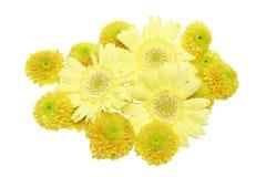 Köpfchen der Chrysantheme in einem weißen Hintergrund Stockfotos