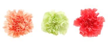 Köpfchen der Gartennelke in einem weißen Hintergrund lizenzfreie stockbilder