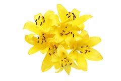 Köpfchen der Lilie in einem weißen Hintergrund Stockbilder