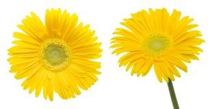 Köpfchen des Transvaal-Gänseblümchens in einem weißen Hintergrund Stockbild