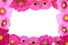 Köpfchen von Transvaal-Gänseblümchen und -kosmos in einem weißen Hintergrund lizenzfreie stockbilder