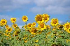 Köpfe einer Sonnenblume gegen den Himmel Lizenzfreies Stockfoto