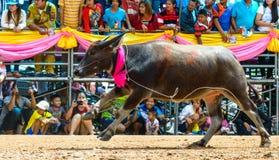 Kör den tävlings- festivalen för buffeln i den 143. buffeln som springer Chonburi 2014 Royaltyfri Fotografi