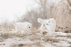 Kör den vita hunden för två Maremma i insnöat en skog royaltyfria foton