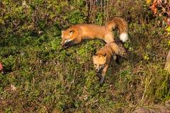 Kör röd räv två (Vulpesvulpes) omkring Arkivfoto