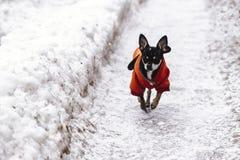 Köra en liten Chihuahuavalp arkivfoton