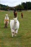 köra för alpacas Arkivbild