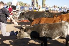köra för Amerika arizona tjurar royaltyfri bild