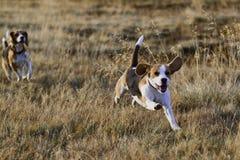 köra för beaglehundar Royaltyfria Bilder