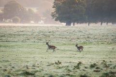 köra för deers Arkivbilder