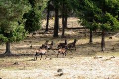 köra för deers Royaltyfria Bilder